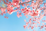 Beautiful sakura flower (cherry blossom) in spring. sakura tree flower on blue sky. - 186434034
