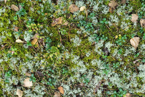 Forest floor with dry birch leaves, blueberry bushes and reindeer moss (Cladonia rangiferina). Aerial view. Texture, natural background.