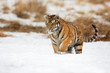 Siberian tiger (Panthera tigris tigris) also called Amur tiger.The tiger is reddish-rusty, or rusty-yellow in color, with narrow black transverse stripes.