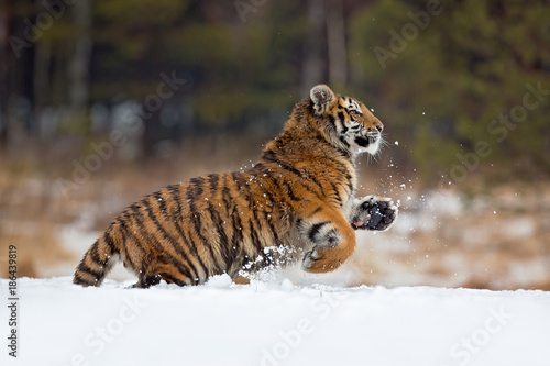 Siberian tiger (Panthera tigris tigris) also called Amur tiger Poster
