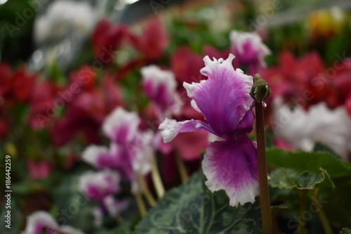 Aluminium Azalea Red, pink, purple flower cyclamen
