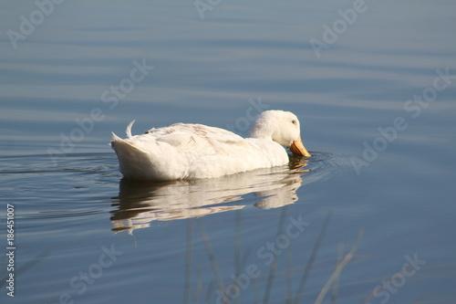 Fotobehang Zwaan White duck swimming in the lake