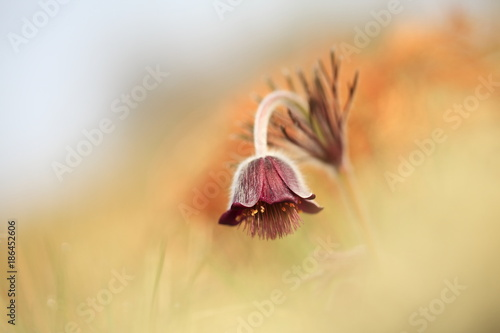 Pulsatilla pratensis. It grows in sunny and bright places. For example, on rocky and grassy slopes. In meadows, steppes, or in light forests. It is a thermophilic species. - 186452606