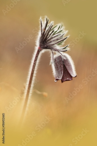 Foto Murales Pulsatilla pratensis. It grows in sunny and bright places. For example, on rocky and grassy slopes. In meadows, steppes, or in light forests. It is a thermophilic species.