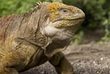 Galapagos Land Iguana - Galapagos Islands - Ecuador poster