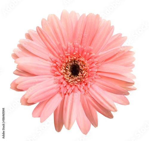 Pink gerber isolated on white background - 186461044