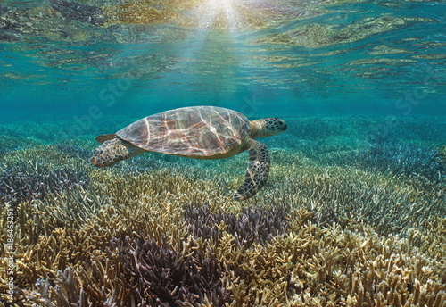 Underwater a green sea turtle over a pristine coral reef with sunlight through water surface, Pacific ocean, New Caledonia, Oceania