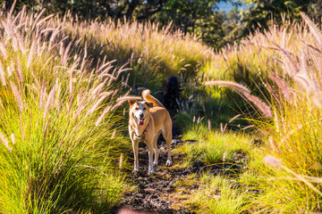 Dog Hiking in Field