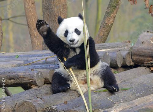 Plexiglas Panda Giant Panda near Chengdu, Sichuan Province, China