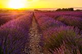 Champ de lavande en fleurs. Coucher de soleil. Provence, France. - 186467421