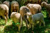 Les moutons et le petit agneau. - 186468290