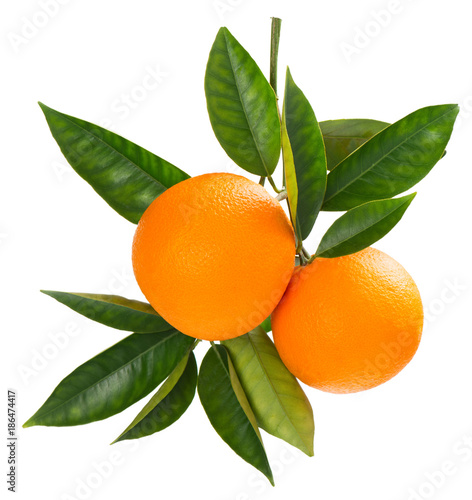 Twig of fresh ripe oranges. - 186474417
