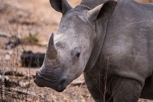 Obraz Fotograficzny White rhino close up head shot