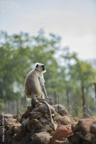 Foto Murales Gray langur, ( Semnopithecus ), sitting on stone wall, looking right, Kahna National Park, India