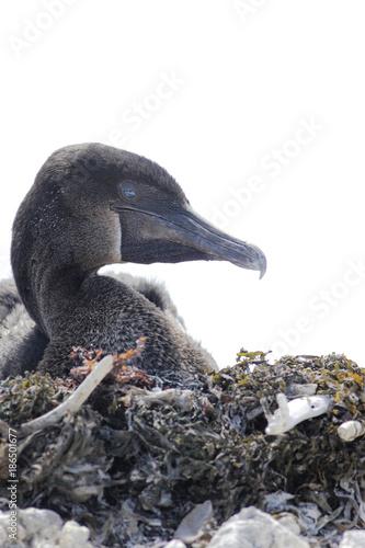 Aluminium Pinguin Flightless Cormorant, (Phalacrocorax harrisi) portrait, Punta Moreno, Isabela, Galapagos Islands, Ecuador