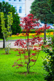 Japanese red maple (Acer palmatum japonica red) in a park. Batumi - 186503447