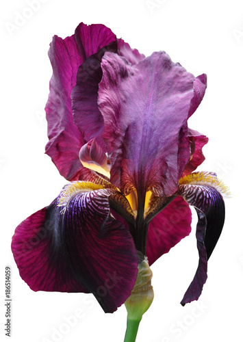 Canvas Iris iris flower