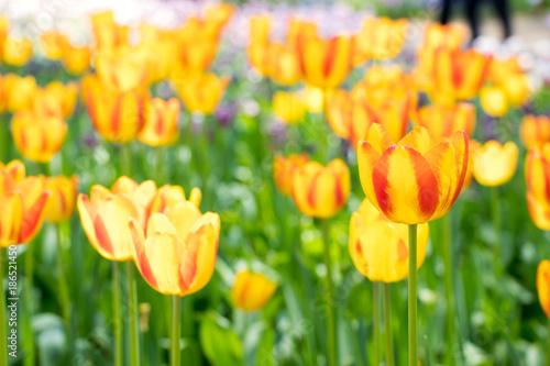 Fotobehang Tulpen Yellow color of blooming tulip flower on garden background