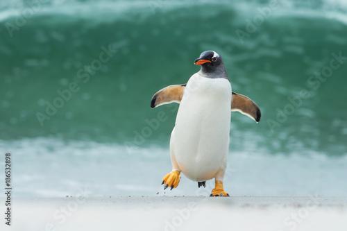 Aluminium Pinguin Gentoo penguin coming ashore through big waves, Falkland Islands.