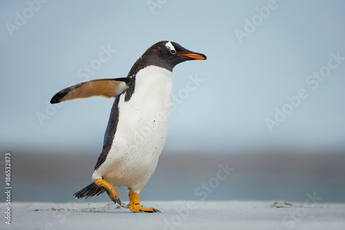 Gentoo penguin walking on a sandy beach with the wings up, Falkland Islands Poster