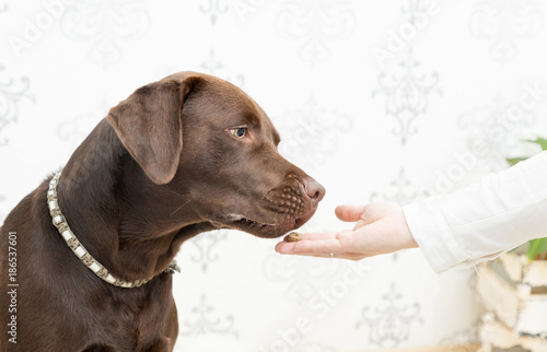 labrador give food Poster