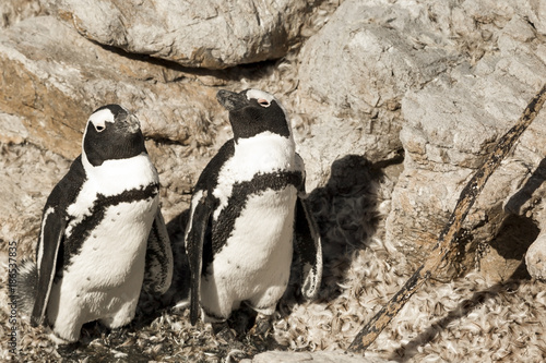 Fotobehang Pinguin Penguins in Western Cape South Africa