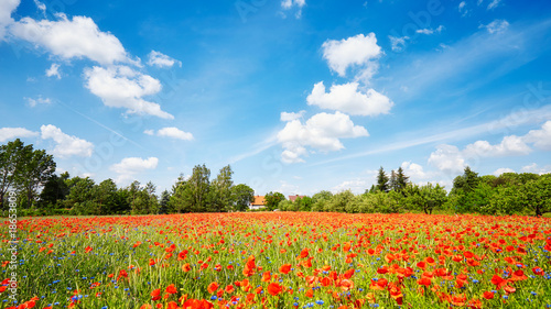 Poppy meadow with the blue...