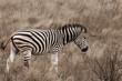 Zebra in Kruger Park South Africa