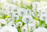 Beautiful dandelions in field close-up in sunlight
