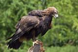 Golden Eagle - Scottish Highlands poster