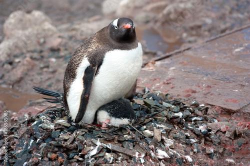 Aluminium Pinguin Eselspinguine-Antarktis