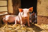 Schwein - 186574669