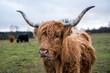 Ginger highland cow.