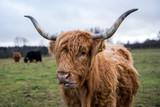 Ginger highland cow. - 186575253