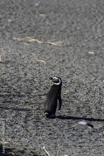 Aluminium Pinguin Magellanic Penguin