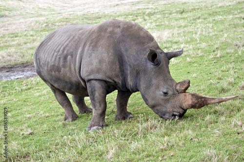 Fotobehang Neushoorn white rhinoceros