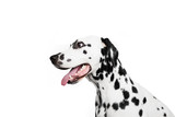 Dalmatian dog portrait in profile. Isolated on white background