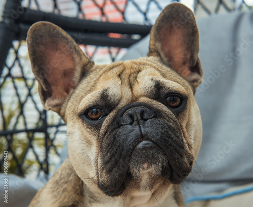 Fotobehang Franse bulldog A young male pure bred French bull dog, posing on a chair in a home.