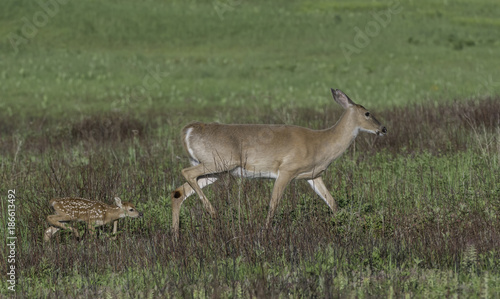 Aluminium Hert Whitetail doe and young fawn in a meadow.