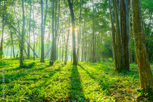 Keuken foto achterwand Bossen forest with sunlight background. Nature and outdoor background