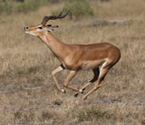 Impala - Savuti region of Botswana poster