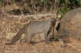Banded Mongoose - Botswana poster