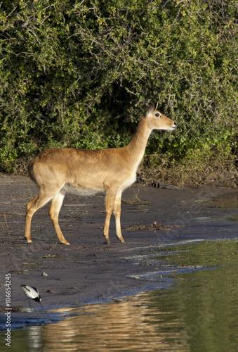 Puku Antelope Poster