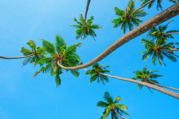 Curly green tropical coconut palm trees over clear blue sky background