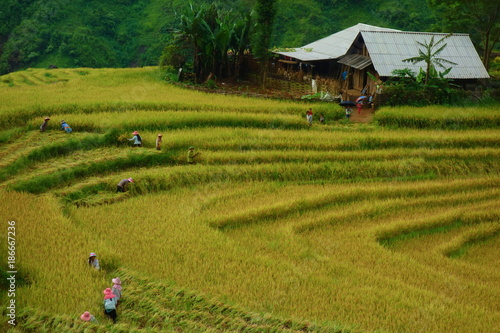 Fotobehang Rijstvelden Terraced rice fields in harvest season, Muong Hoa Valley, Sappa, Northern Vietnam