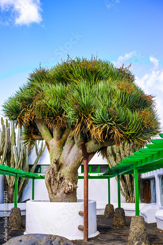 Foto op Canvas Canarische Eilanden Old big green Dragon tree, Canary Islands, Spain