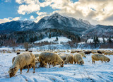 Flock of sheep at the bottom of the mountain - 186677474