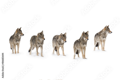 Plexiglas Wolf pack of wolves