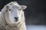 sheep - 186684415