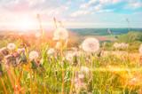 Summer landscape with dandelions. Nature background